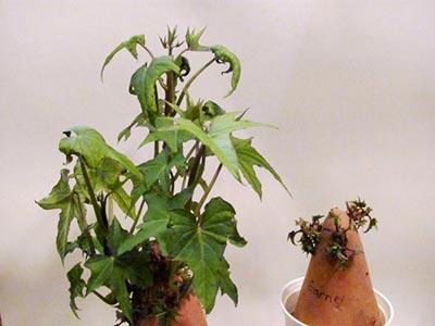 Пророщенные клубни батат сорта Гарнет. Влияние ингибиторов на прорастание черенков батата.