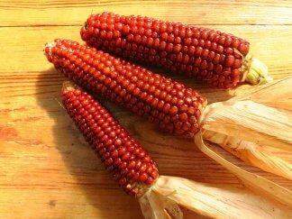 Кукуруза Красная кремнистая