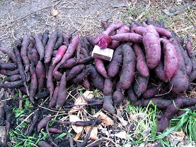 """Урожай клубней батата сорта """"Пурпурный""""."""