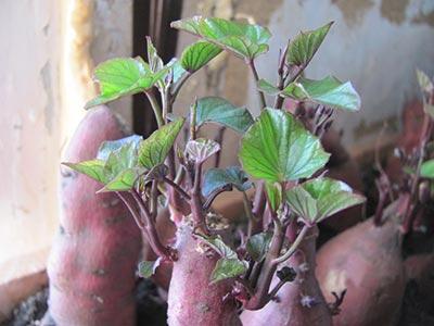 Разрезанные клубни батата на проращивании