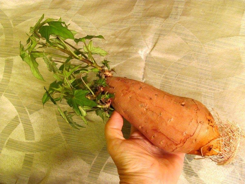 Выращивание розы из букета в картошке 41