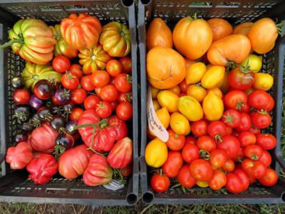 Много-томатов